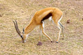 Thomson's gazelle male, Serengeti, Tanzania Royalty Free Stock Photo
