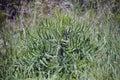Thorn grass in the green grass in the sun