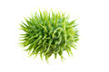Thornapple Stock Photography