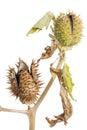 Thornapple intensely poisonous datura stramonium on white Stock Photos
