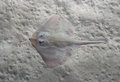 Thornback ray Raja clavata, also known as the thornback skate. Royalty Free Stock Photo