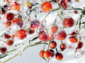 Thornhill the apples covered with ice 2013 Royalty Free Stock Photo