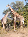 Thornicroft Giraffes Royalty Free Stock Photography