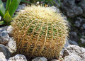 Thorny cactus plant beautiful shape green Stock Images