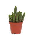 Thorny Cactus Plant Isolated