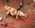 Thorny Devil Australia Royalty Free Stock Photo