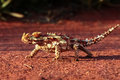 A Thorny Devil in the outback of Australia Royalty Free Stock Photo