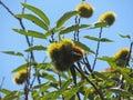 Thorny fruits strange on a tree Stock Photos