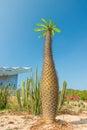 Thorny madagascar cactus