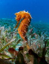 Thorny sea horse seahorse red sea yellow in grass bed Royalty Free Stock Images