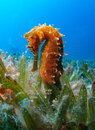 Thorny sea horse seahorse red sea yellow in grass bed Royalty Free Stock Photography