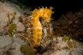 Thorny seahorse a taken in komodo national park indonesia Royalty Free Stock Images