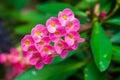 Trnitý sukulentní růžový kvetoucí