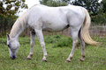 Thoroughbred arabian grey horse grazing fresh green grass Royalty Free Stock Photo