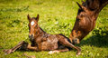 Thoroughbred broodmare greeting her newborn foal filly and Royalty Free Stock Image