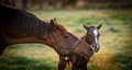 Thoroughbred broodmare greeting her newborn foal filly for the first time Royalty Free Stock Image