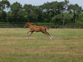 Thoroughbred Foal Stock Images