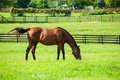 Thoroughbred horse grazing in the field Royalty Free Stock Images