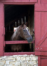 Thoroughbred horse a looks out the stall door in a red barn Stock Photos