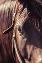 Thoroughbred mare closeup portrait on a farm Royalty Free Stock Image