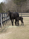 Thoroughbred mare and colt graze in a corral Stock Photo