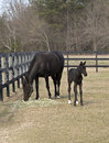 Thoroughbred mare and colt graze in a corral Stock Photos