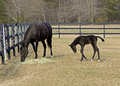 Thoroughbred mare and colt graze in a corral Stock Image