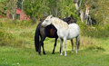 Thoroughbred mare and stallion ordinary tenderness this is love Royalty Free Stock Image