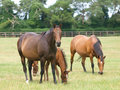 Thoroughbred Mares and Foals Stock Images