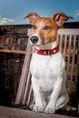 Thoughtful dog sitting on a balcony chair watching out Royalty Free Stock Images