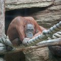 Thoughtful orangutan brooding eyes moscow zoo Stock Images
