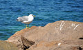 Thoughtfull seagull observing the sea on rocks Stock Photography