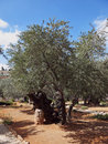 Thousand-year olive trees  in garden Royalty Free Stock Photo