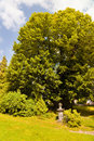 Thousand years old linden tree collm germany Stock Photo