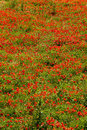 Thousands of poppies dense poppy field with red in tuscany italy Royalty Free Stock Images