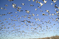 Thousands of snow geese fly against blue sky over the bosque del apache national wildlife refuge near san antonio and socorro ne Royalty Free Stock Image