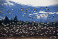Thousands of Snow Geese Flying Against Mountain Stock Photo