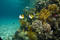 Threadfin butterflyfish (chaetodon auriga) Stock Photos