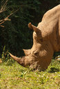 Threatened white rhinoceros grazing on fresh grass square lipped ceratotherium simum wildlife observation and conservation tourist Stock Photos