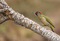 Threatening Green Woodpecker Royalty Free Stock Photography