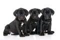 Three adorable cane corso puppies black on white Stock Photo