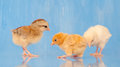 Three adorable Easter chicks Royalty Free Stock Photography