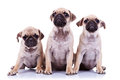 Three adorable mops puppies Royalty Free Stock Photography