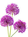 Three Alliums Ornamental Onions Stock Photos