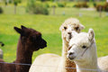 Three alpacas pasture animal husbandry australia livestock Stock Image
