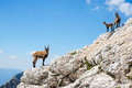 Three alpine ibex Royalty Free Stock Photo