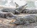 Three American crocodile Royalty Free Stock Photo
