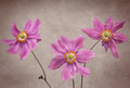 Three Anemone Flowers Royalty Free Stock Photos