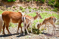 Three Animal's Young Eating Gr...