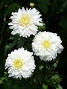 Three asters Royalty Free Stock Photo